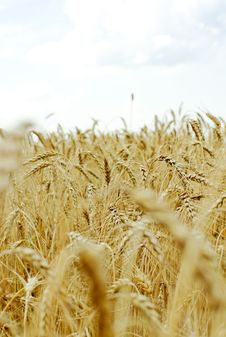Free Ripe Wheat Against Blue Sky Royalty Free Stock Photo - 15577295