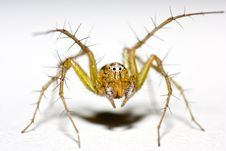 Free Crab Spider Royalty Free Stock Photo - 15577755