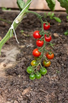 Free Organically Grown Cherry Tomatoes Stock Photography - 15578022