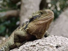 Free Australian Water Dragon Stock Image - 15578211