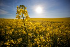 Free Canola Closeup Spring Royalty Free Stock Photography - 15578527