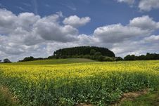 Oilseed Rape Field Royalty Free Stock Images