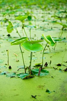 Free Lotus Leaf Royalty Free Stock Photos - 15578568