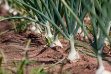 Organically Grown Onions Royalty Free Stock Image