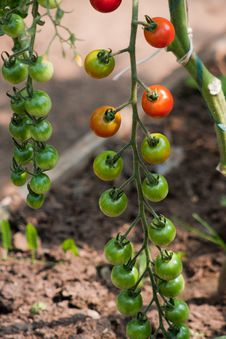 Free Organically Grown Cherry Tomatoes Royalty Free Stock Photography - 15579487