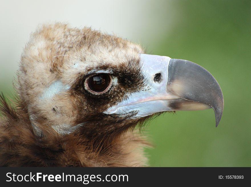 Himalayan vulture close up