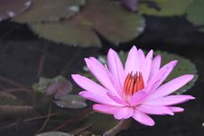 Free Pink Water Lily Stock Images - 15584004