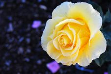 Free Yellow Rose Stock Images - 15584014