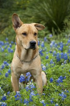 Free Labrador Dog On A Bluebonnet Flowers Stock Photo - 15584940