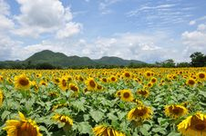 Free Sunflower Field Royalty Free Stock Photos - 15585608