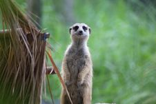 Free Sentry Meerkat Stock Images - 15586284
