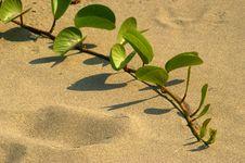 Free Green Sand Vine On Beach Stock Photos - 15586773