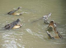 Free Crocodiles Royalty Free Stock Image - 15587856