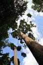 Free Tall Trees Stock Image - 15599741