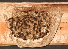 Free Hornet Nest (Vespa Crabro) Stock Image - 15591261
