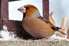 Free Hawfinch At Feeder Royalty Free Stock Photo - 15593815