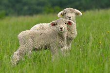 Free Cute Lambs Stock Photos - 15593883