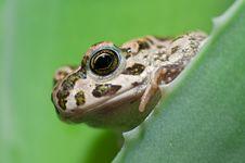 Free Frog Stock Photo - 15594490