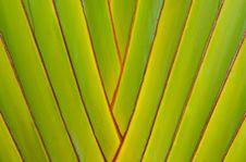 Traveler S Tree Green Background Stock Photography