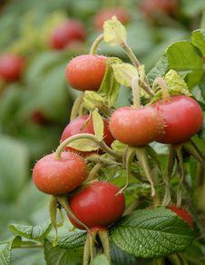 Free Rosehips Berries. Royalty Free Stock Photos - 15595058