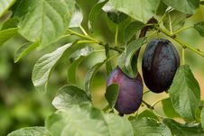 Free Two Plums Royalty Free Stock Image - 15595366