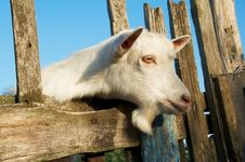 Free A Young Goat Stock Images - 15595544
