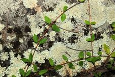 Free Lichen On Granite Rock Royalty Free Stock Image - 15595546