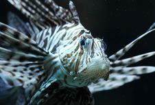 Free Lionfish Royalty Free Stock Images - 15595699