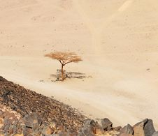 Lonely Dry Tree In Egypt Desert Stock Photography
