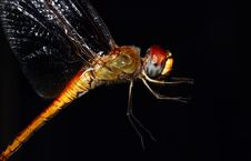 Free Dragonfly Stock Images - 15598084