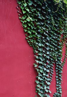 Free Green Ivy Royalty Free Stock Image - 15598176