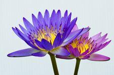Free Twin Lotus Stock Image - 15598571