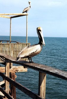 Free Florida Pelicans On Mooring 1999 Stock Photography - 15598982