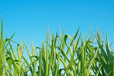 Free Corn Field Royalty Free Stock Image - 15599416
