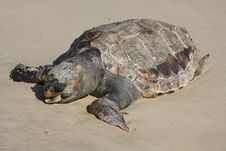 Free Dead Turtle On The Beach Royalty Free Stock Photo - 15599925