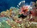 Free Lionfish Habitat Royalty Free Stock Photo - 1560855