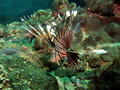 Free Common Lionfish Stock Images - 1560864