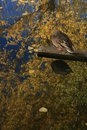 Free Reflection On The Pond With Duck 2 Royalty Free Stock Photo - 1560925