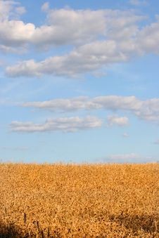 Free Wheat Field Royalty Free Stock Photos - 1560218