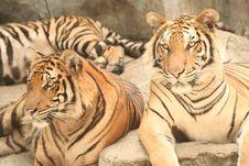Free Staring Tigers Stock Image - 1560561