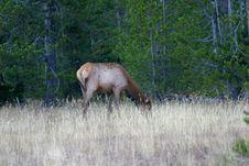 Cow Elk Grazing Stock Image