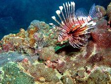 Lionfish Habitat Royalty Free Stock Photo