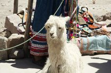 Free Reruvian Alpaca Stock Photo - 1560890