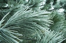 Snowcovered Pine Stock Images