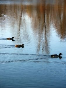 Free Three Ducks Family In Synchronized Swimming Stock Images - 1561404