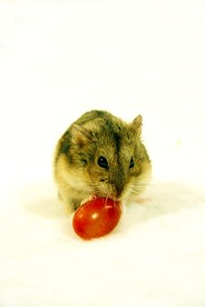 Free Hamster 2 Stock Images - 1561894