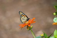 Free Monarch On Orange Zinnia Royalty Free Stock Photography - 1562537