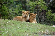 Free Lions Stock Photos - 1563883
