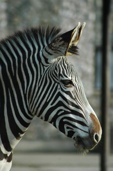 Free Zebra Royalty Free Stock Images - 1564189