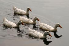 Free White Ducks In Formation Royalty Free Stock Image - 1564716